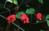 Euonymus spp.