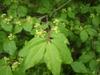 Euonymus alatus