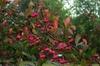 Euonymus bungeanus
