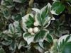 Euonymus fortunei 'Silver Queen'