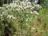 Eupatorium hyssopifolium