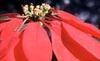 Euphorbia pulcherrima