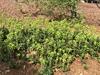 Euphorbia amygdaloides subsp. robbiae