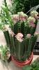 Euphorbia Lactae 'Cristata'