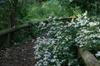 Eurybia divaricatus