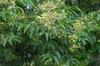 Euscaphis japonicus