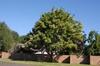 Evodia danielli Tree