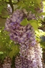Fabales Wisteria sinensis