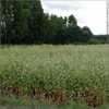 Fagopyrum esculentum-Field
