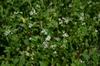 Fagopyrum esculentum in lanscape