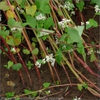 Fagopyrum esculentum-Stems