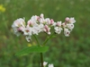 Fagopyrum esculentum-Flowers