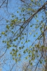 Branches in spring (Lindley Park, Greensboro, NC)-Mid Spring