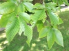 Leaves of F. grandifolia