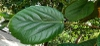 Ficus auriculata