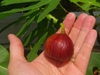 Ficus carica 'Magnolia'