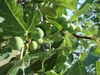Ficus carica fruit and leaves