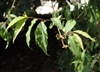 Forsythia ovata