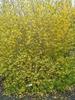 Forsythia ovata 'Northern Gold'