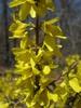 Forsythia viridissima 'Kumson'