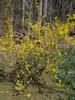 Forsythia-viridissima 'Kumson'