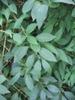 Forsythia x intermedia 'Primulina'