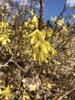 Forsythia viridissima 'Bronxensis'