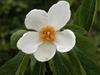 Franklinia alatamaha flower