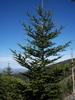 Abies fraseri mature tree