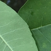Both sides of leaves