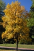Fraxinus pennsylvanica Fall Color Form