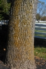 Fraxinus pennsylvanica Bark