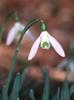 Galanthus nivalis, G. elwesii