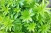 Galium odoratum