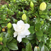 Gardenia jasminoides 'Crown Jewel'