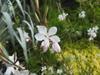 Gaura lindheimeri flower