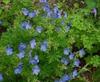 Geranium manculatum