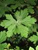 Geranium manculatum leaf
