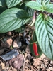 Gloxinia nematanthodes