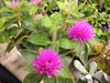 Gomphrena 'Pink Zazzle'