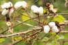 Branches and cotton