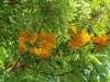 Branch of  'robusta'