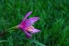 Habranthus robusta