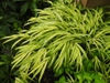 Hakonechloa 'Stripe It Rich' form