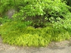 Hakonechloa macra 'Aureola' mass planting around tree