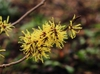 Hamamelis_x_intermedia_'Angelly'