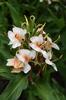 Hedychium 'Daniel Weeks'