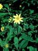Helianthus spp.