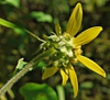 Helianthus resinosus