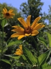 Heliopsis helianthoides flowers and foliage